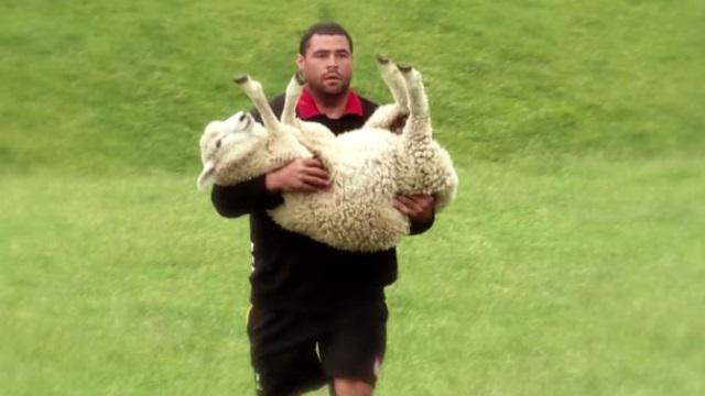 VIDEO. INSOLITE - Super Rugby : la préparation originale des Chiefs... à la ferme